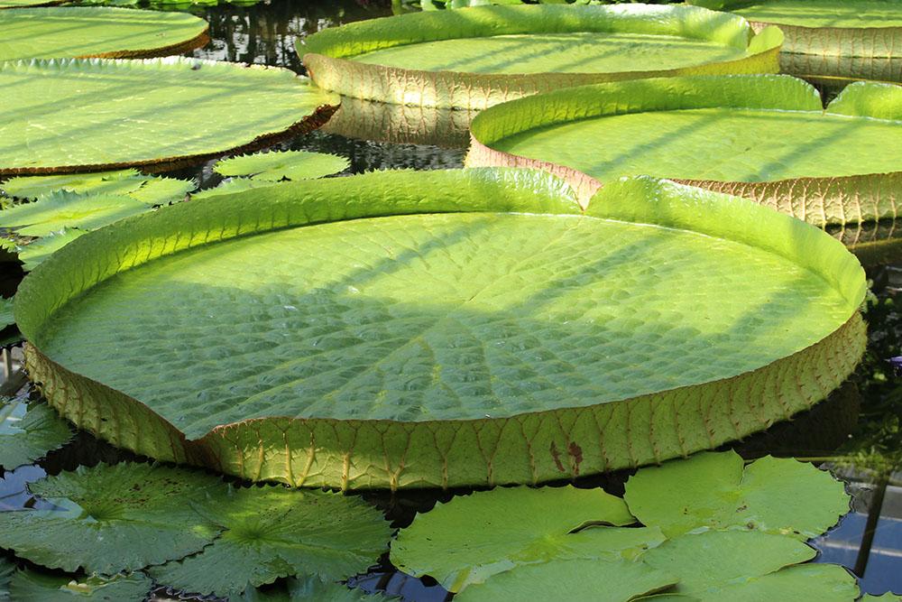 パラグアイオニバスの葉
