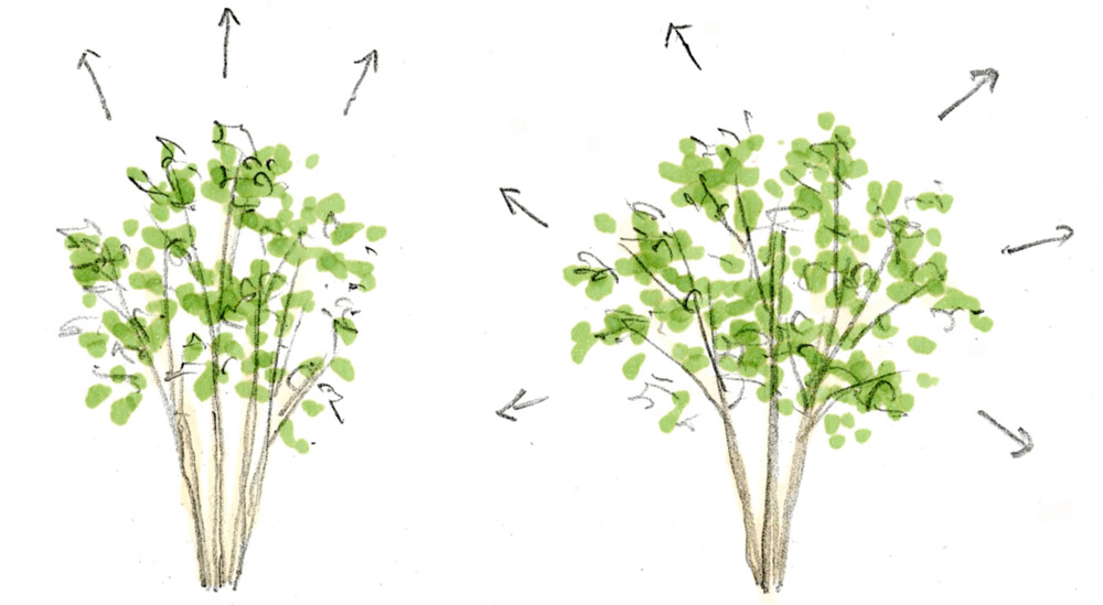 1.下枝が少なく上に伸びるタイプ     2.枝が四方に伸びるタイプ