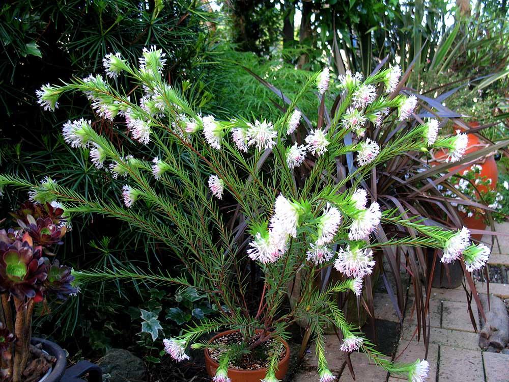ピメレアの花