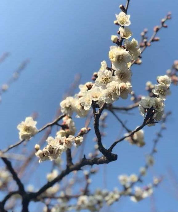世田谷区梅ヶ丘の羽根木公園「せたがや梅まつり」