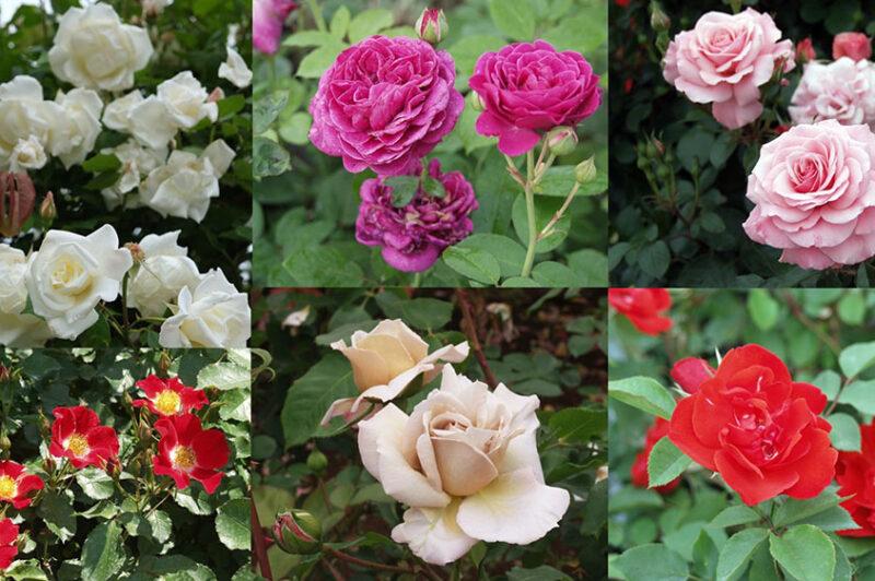 サム・マクレディのバラ