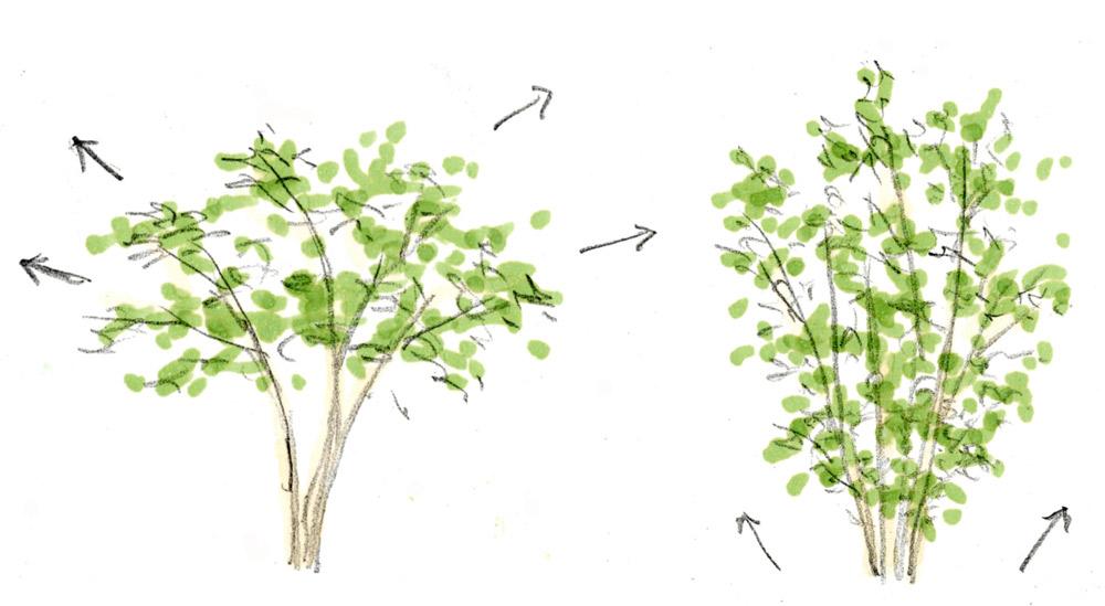 3.水平気味に伸びるタイプ   4.地面の際から枝が伸びるタイプ(株立ち)