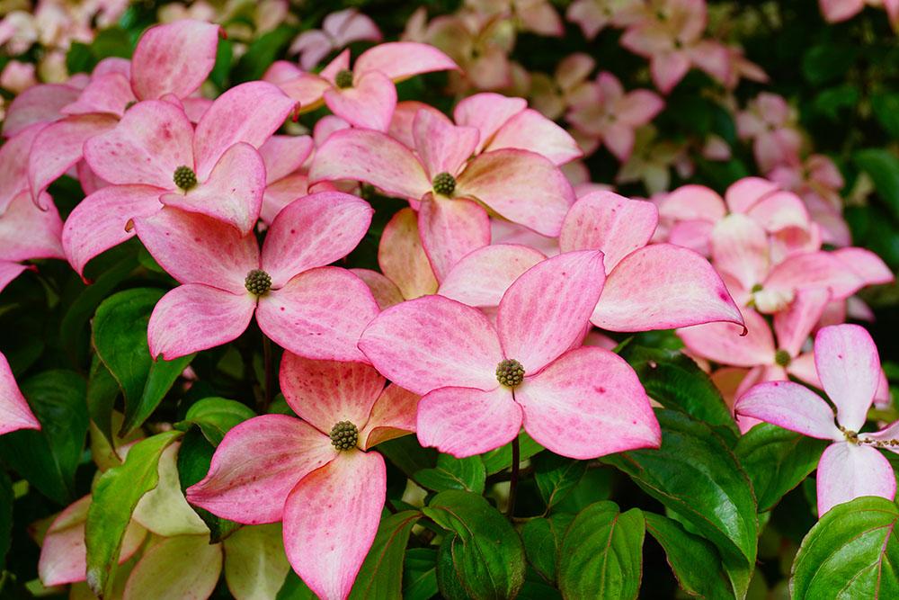 ヤマボウシの花言葉