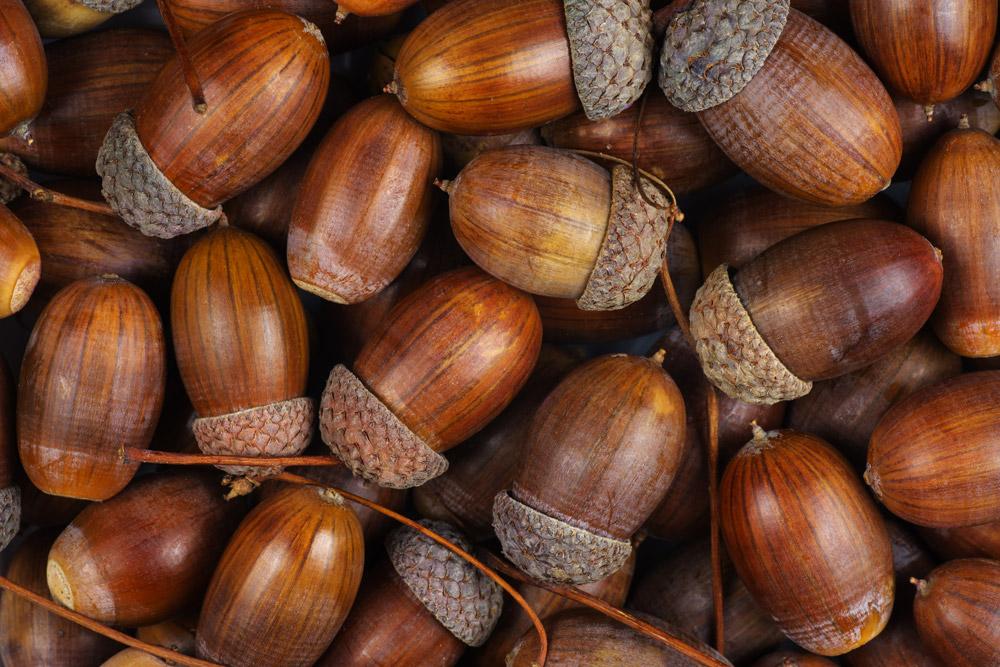 カシ、ナラ、カシワなどのコナラ属樹木の実を総称「どんぐり」という。