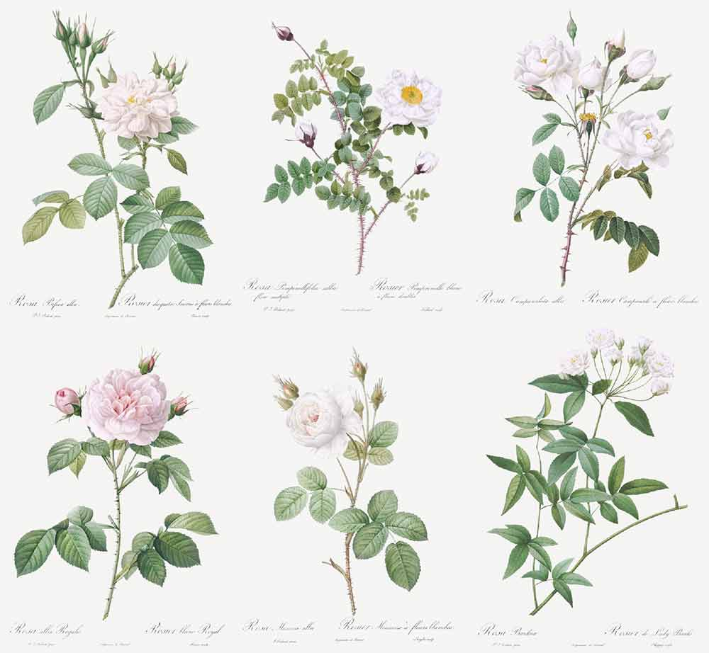 ルドゥーテのバラ図譜