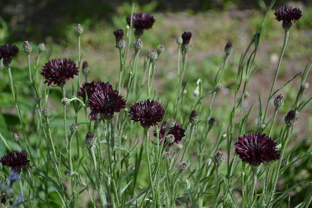 黒いヤグルマギクの花