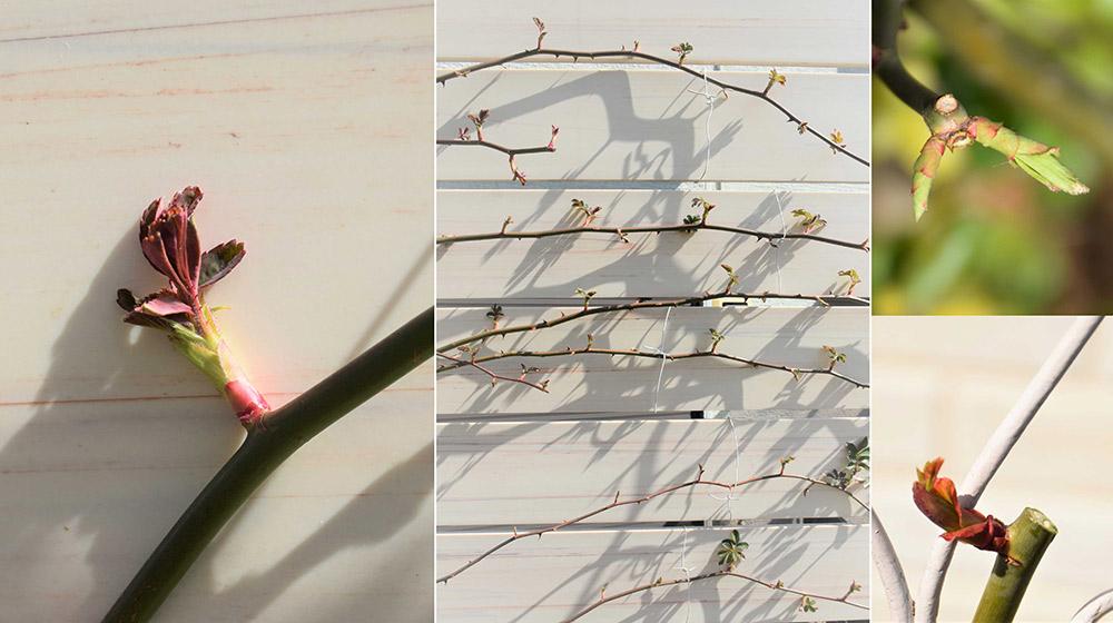 春のバラ手入れ