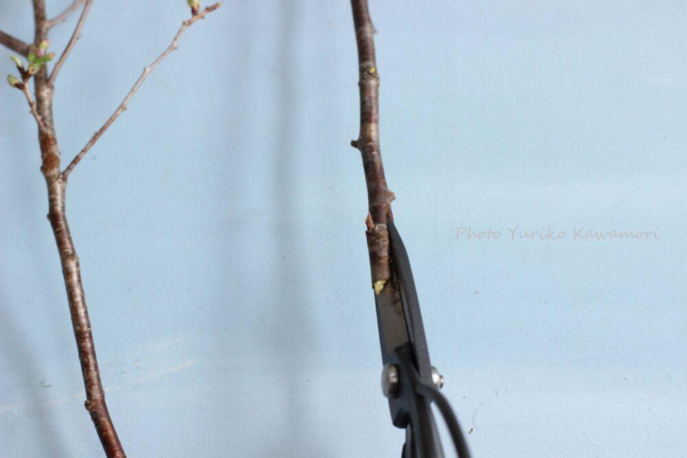 桜の枝の水揚げ