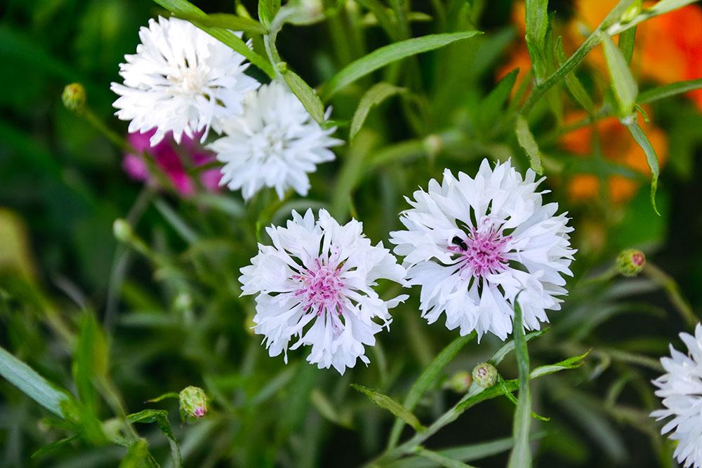 白いヤグルマギクの花