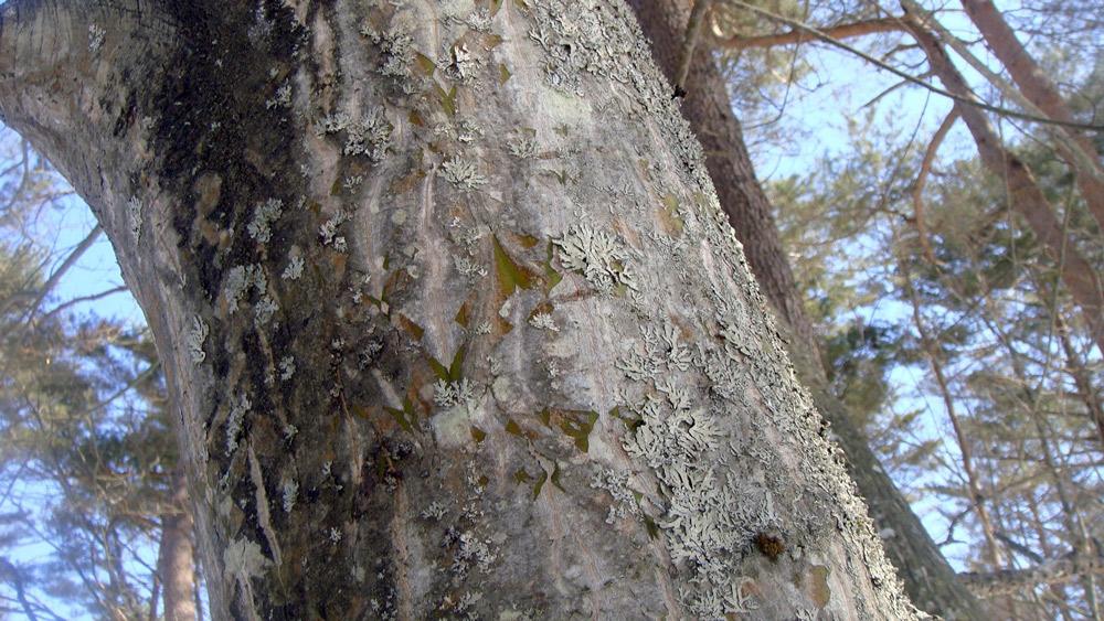 ウリハダカエデの老木