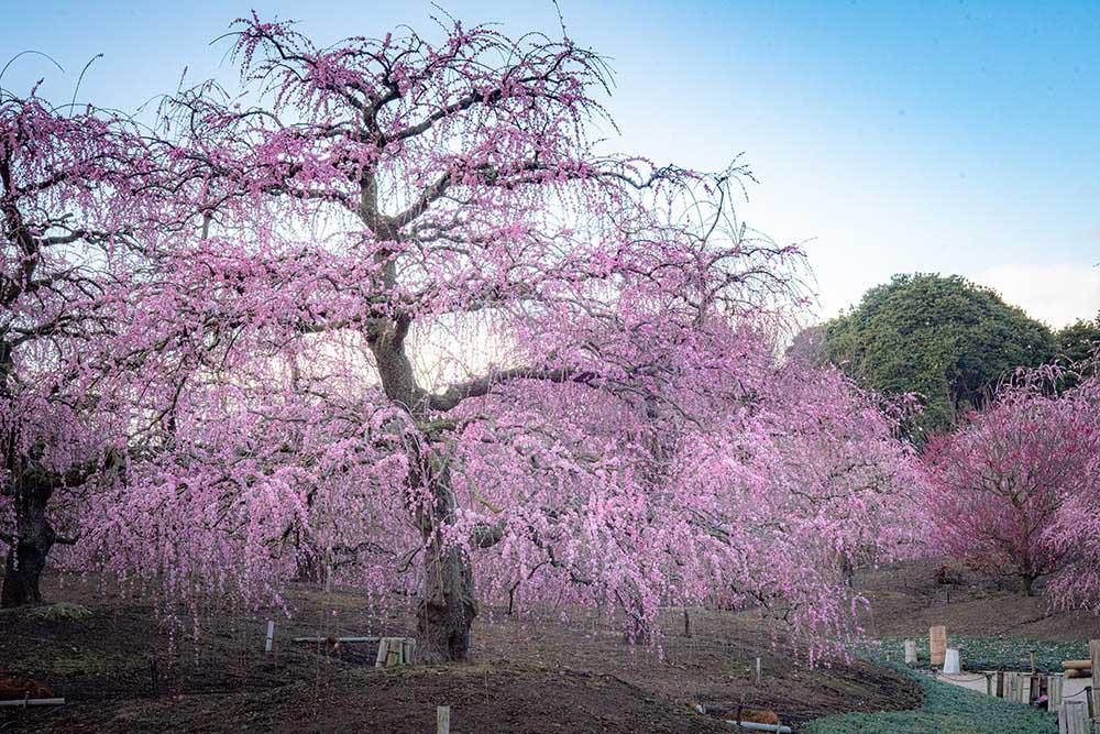 鈴鹿の森庭園の枝垂れ梅