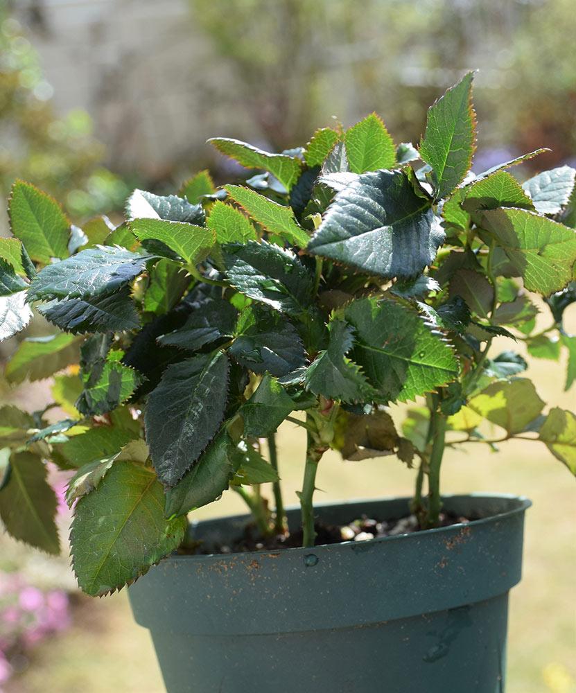 鉢植えギフトローズの管理