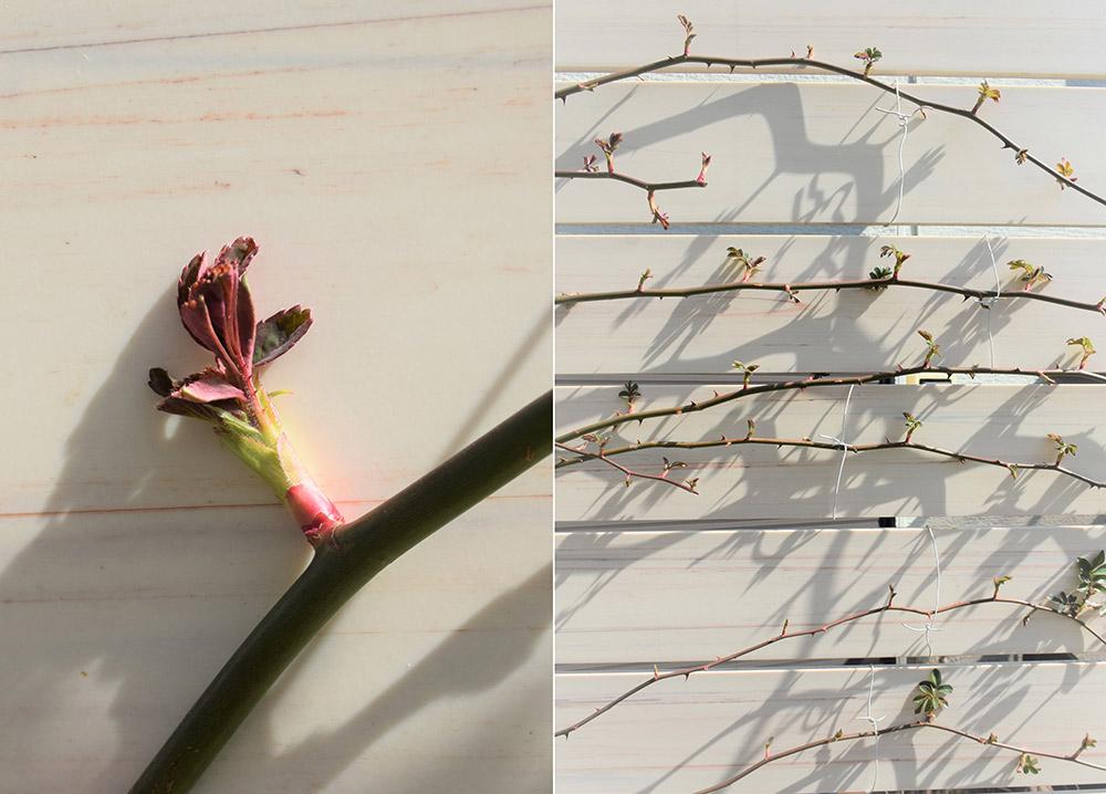 バラの新芽と誘引