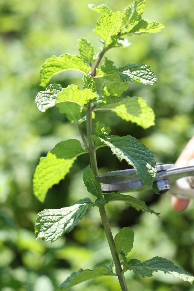 写真はミントですが摘心の方法は同じです。/先端の葉をカットします。摘芯・切り戻しを行った葉も使えます。