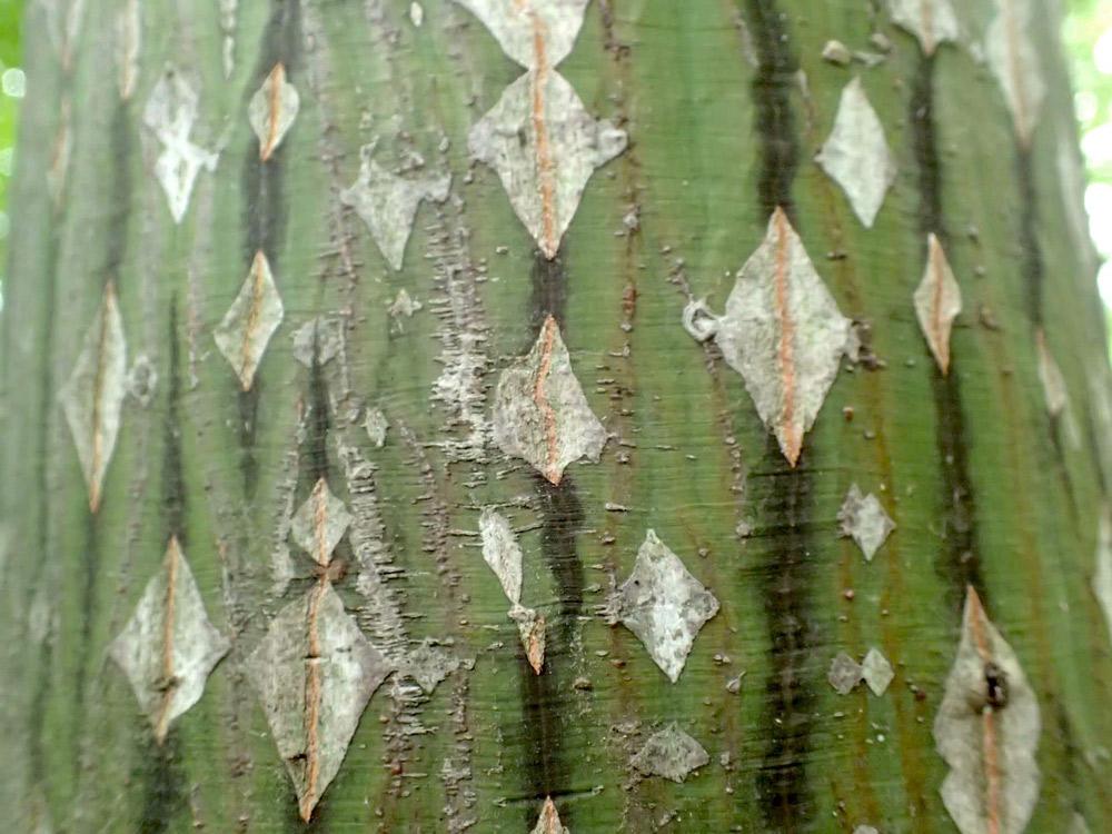 ウリハダカエデの若い樹皮
