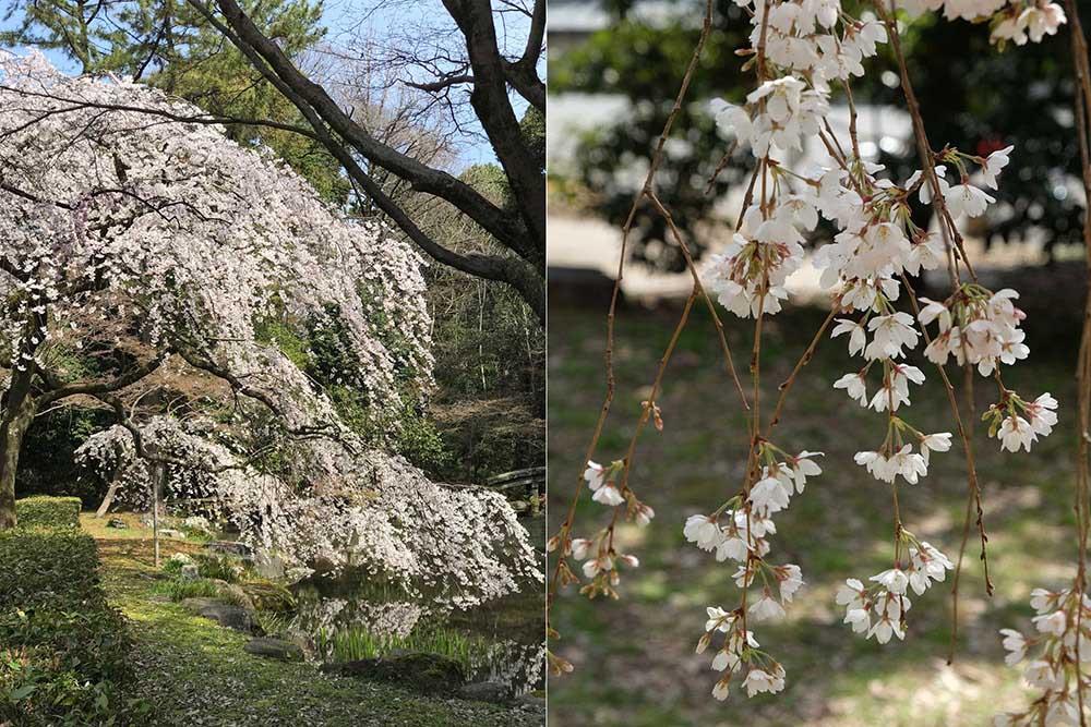 京都御所の糸桜