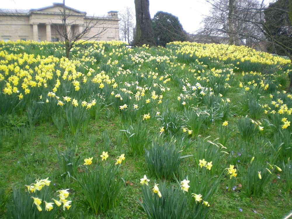 ヨークの庭園に咲くラッパズイセン