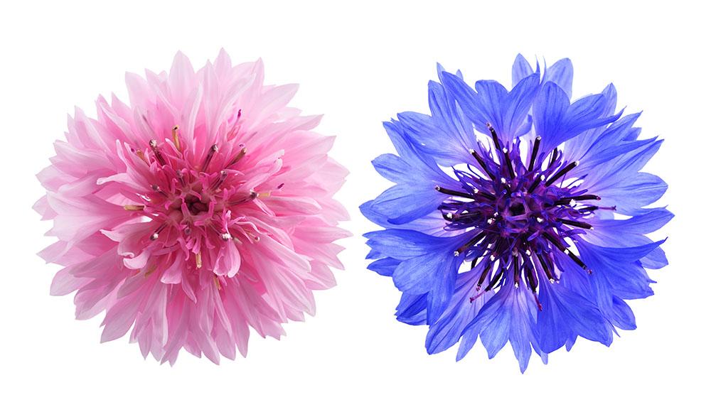 ヤグルマギクの花