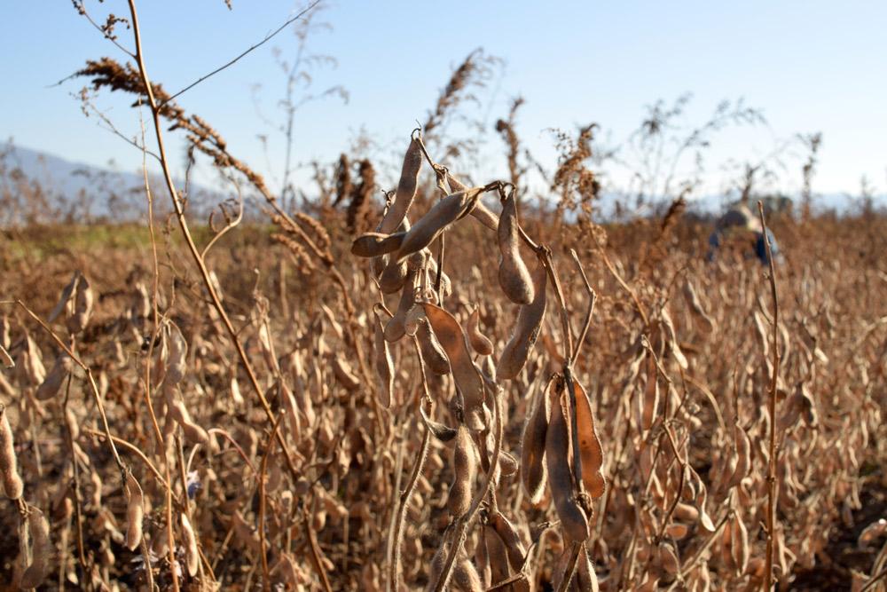 農薬を使用しない大豆畑