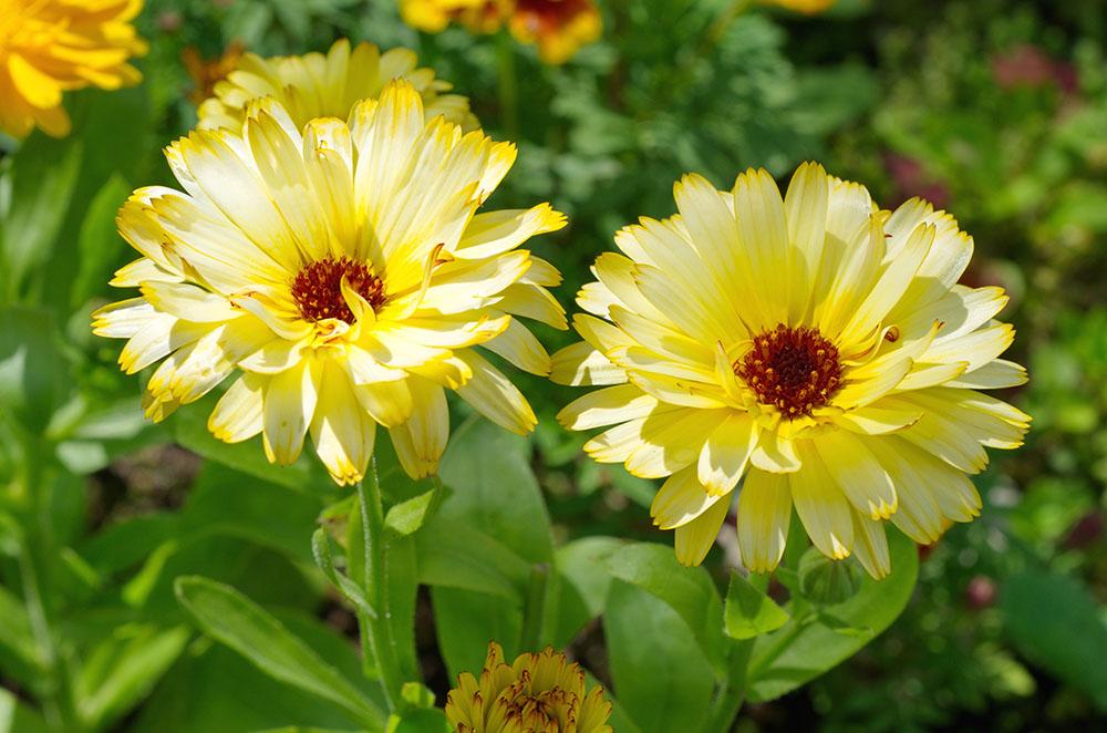 黄色のカレンデュラ
