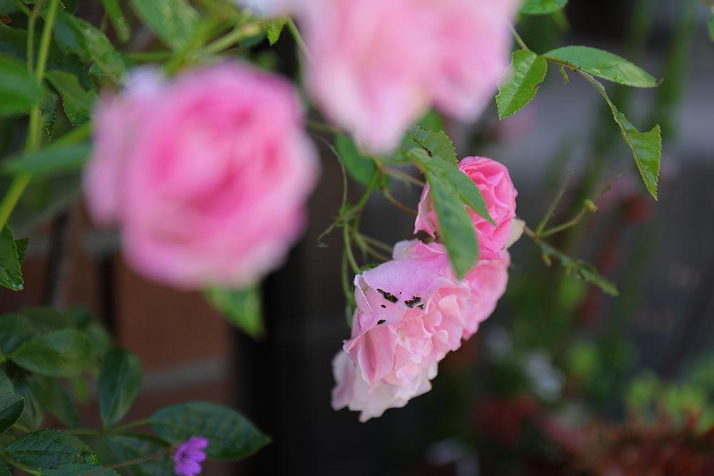 バラの害虫
