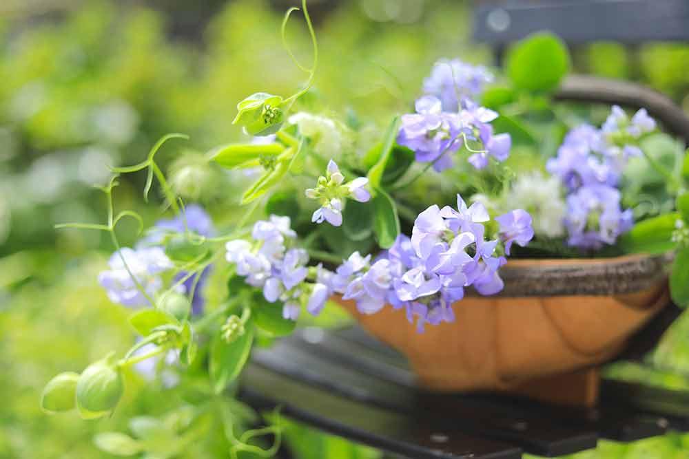 マメ科の花