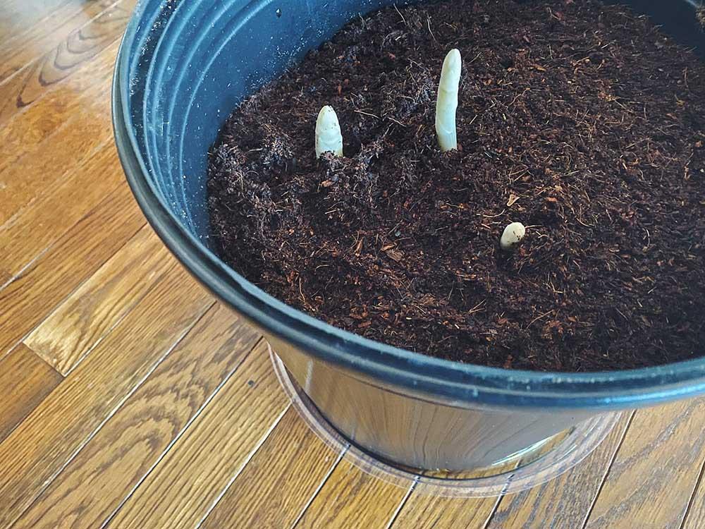 ホワイトアスパラガス栽培キット