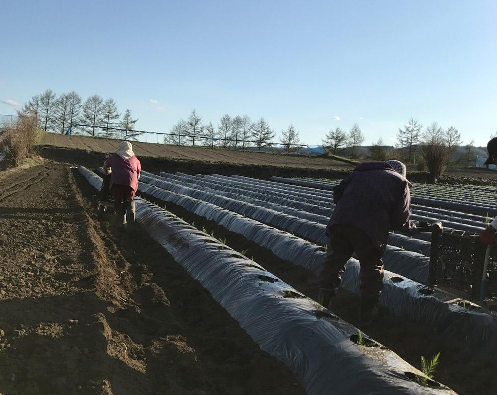 「株づくり」の様子。さんさんと降り注ぐ太陽の光と栄養たっぷりの土で、ホワイトアスパラはすくすくと育つ。