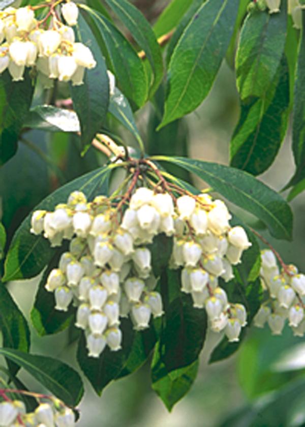 垂れ下がる白花のアセビ