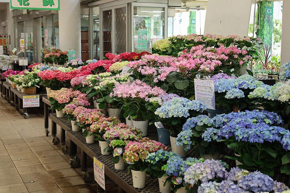 サカタのタネ ガーデンセンター横浜の紫陽花