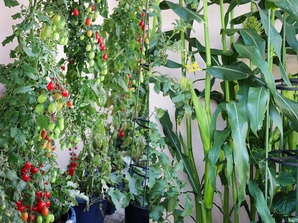 サカタのタネ ガーデンセンター横浜の野菜苗
