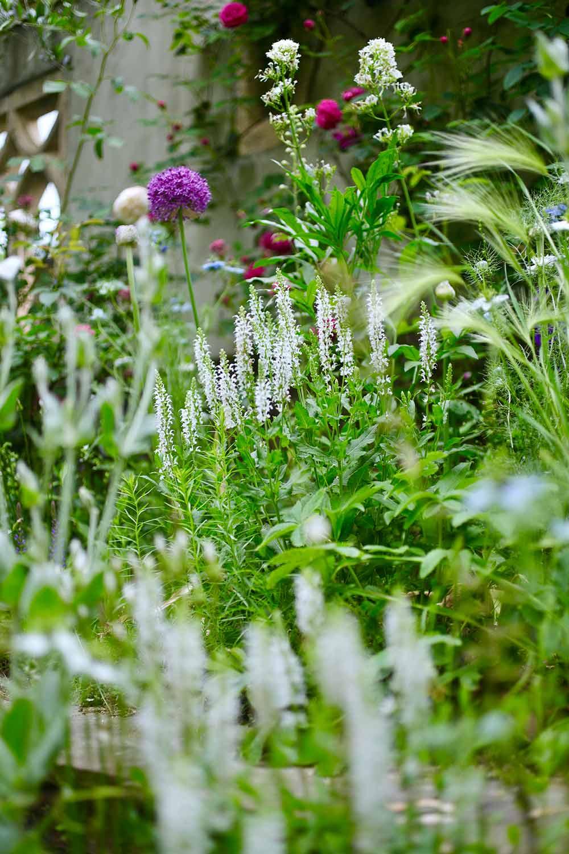 白花のサルビア・ネモローサ'スノーヒル'