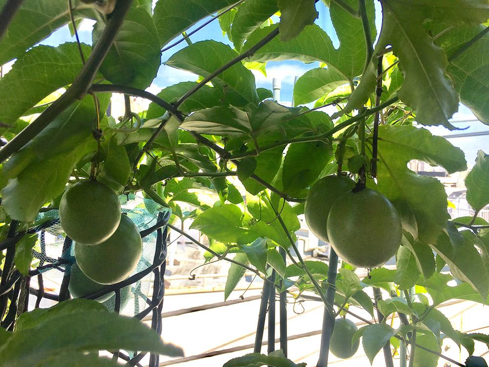 パッションフルーツの緑のカーテン
