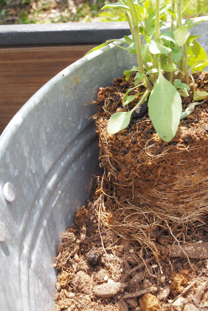 苗の場所を調整し、培養土を入れて苗の隙間を埋めていく
