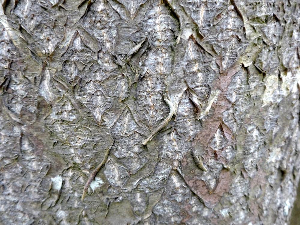 特徴的な樹皮