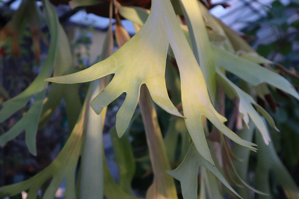 ビカクシダの胞子葉
