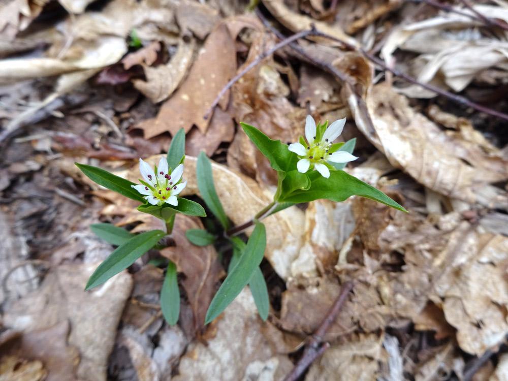 花弁が色々のヒゲネワチガイソウ7枚、6枚