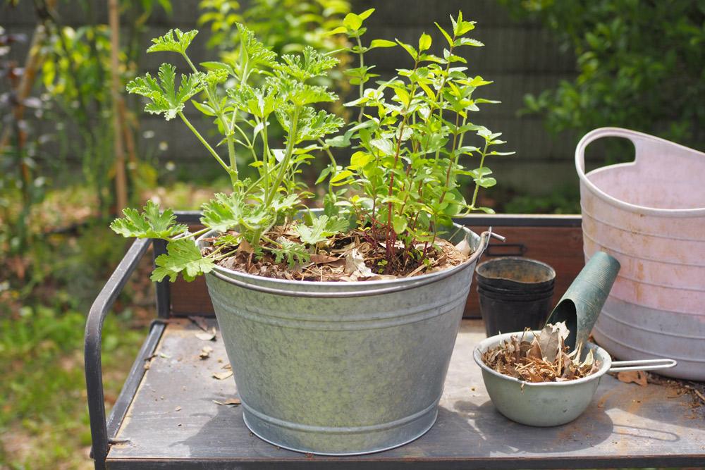 ハーブの寄せ植えを作ろう!ハーブ苗の選び方から寄せ植えの作り方まで