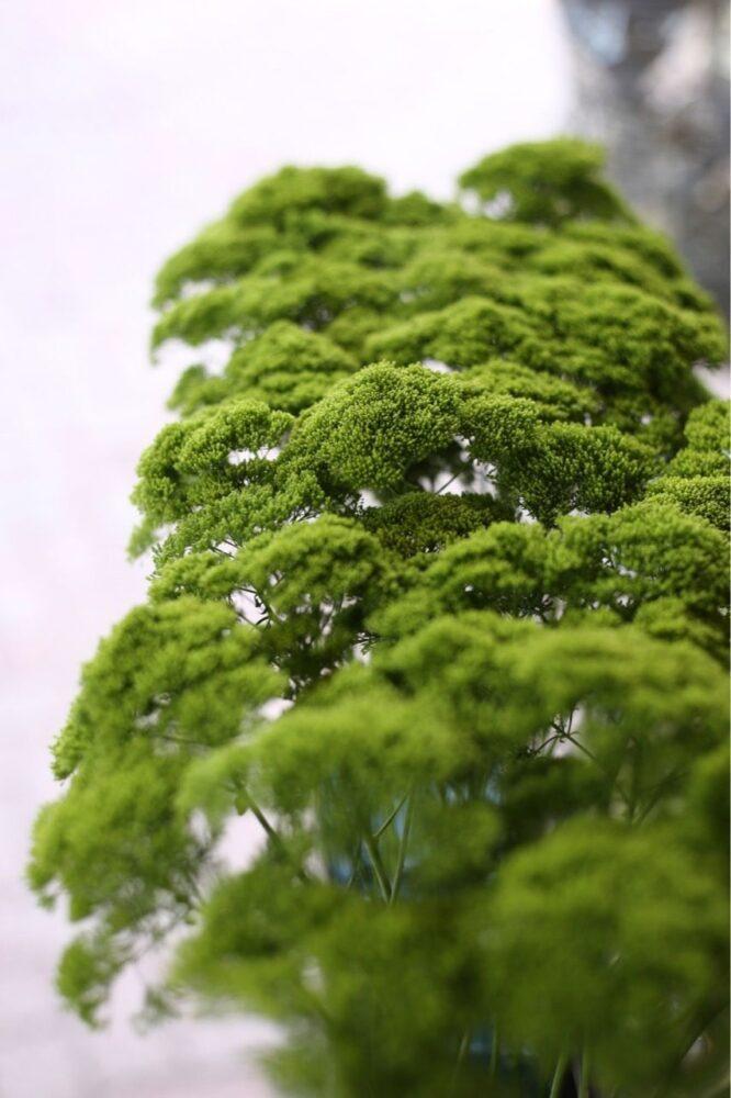 グリーンの夕霧草