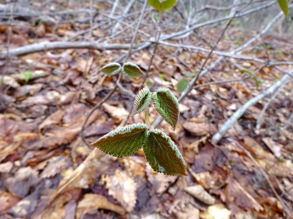 冬芽が特徴的なオオカメノキ