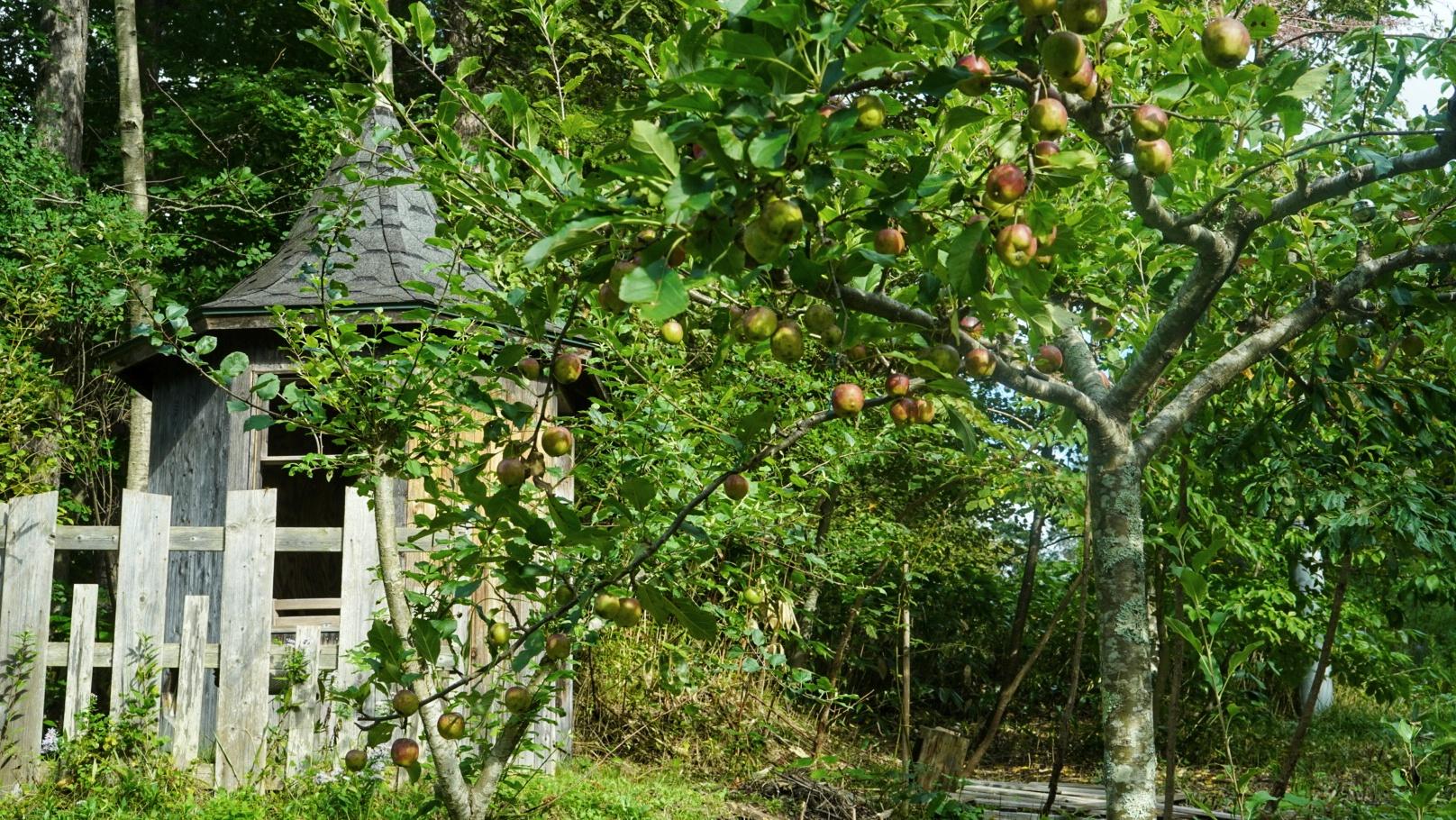 パラソル仕立てのリンゴ