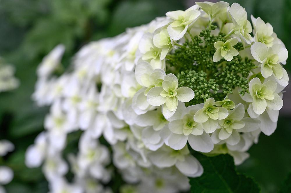 カシワバアジサイの花