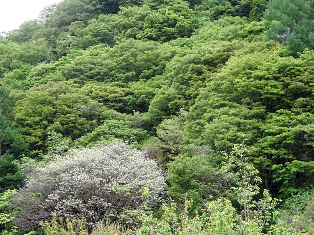 林縁のイヌエンジュ