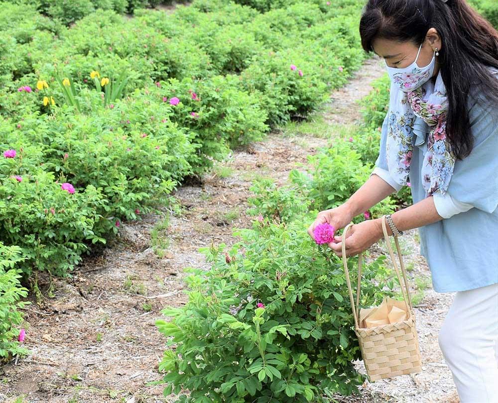 食香バラの摘み取り体験