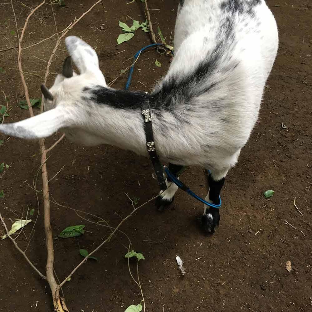 丸子農園のヤギ