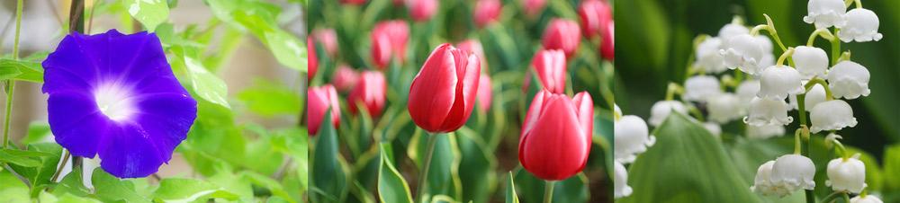 アサガオの種子やチューリップの球根、スズランの花と根など、誤飲すると有毒な植物は身近にたくさんあります