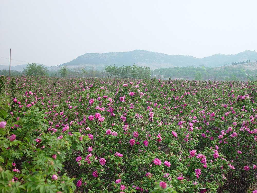 中国山東省平陰県のバラの村 玫瑰鎮