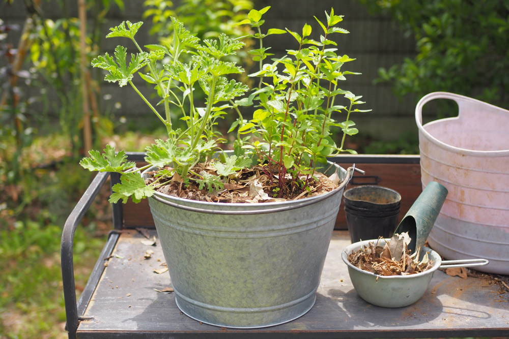 4種類のハーブを1つの鉢に植える『寄せ植え』