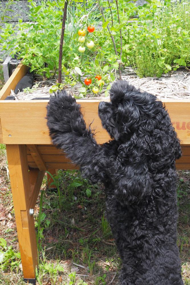 我が家の犬はトマトが大好き。自分で取れないかと、ずっとこのミニトマトを狙っています