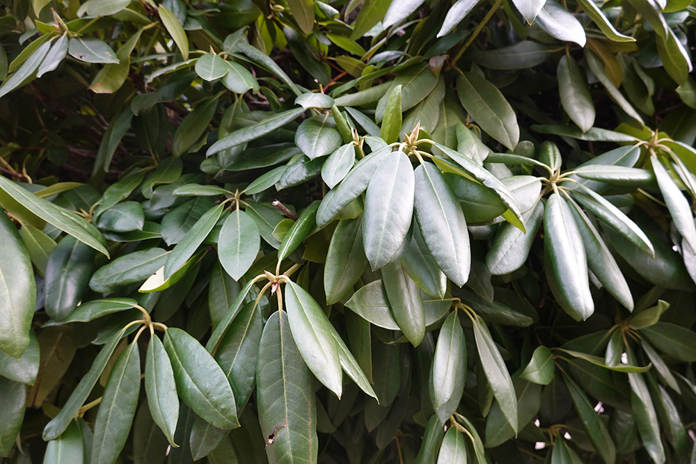 常緑広葉樹